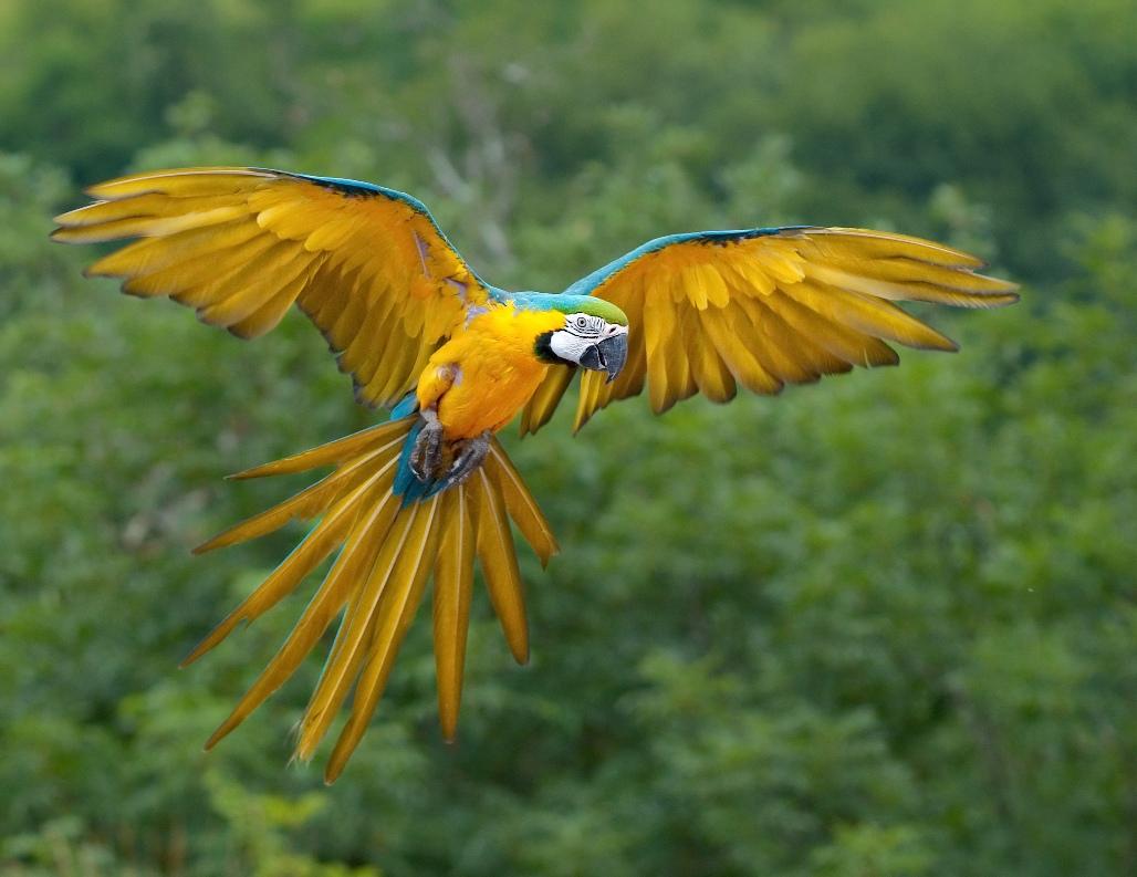 Colorful Ara ararauna Luc Viatour Parrots